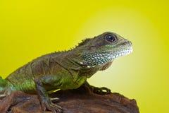 Retrato del reptil hermoso del lagarto de dragón de agua que se sienta en un b Fotografía de archivo libre de regalías