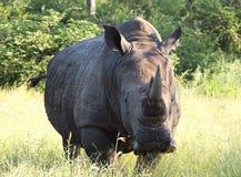 Retrato del rinoceronte Imagen de archivo libre de regalías