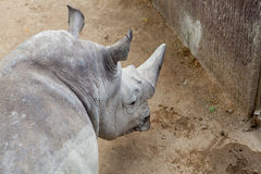 Retrato del rinoceronte adulto Foto de archivo