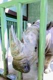 Retrato del rinoceronte blanco Foto de archivo