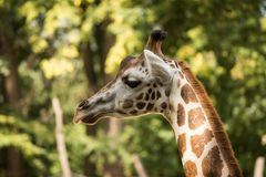 Retrato del rothschildi de los camelopardalis del Giraffa de la jirafa del ` s de Rothschild Fotos de archivo