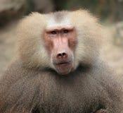 Retrato del `s del babuino Imagenes de archivo