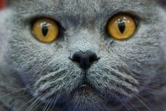 Retrato del `s del gato imagenes de archivo