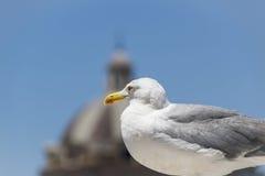 Retrato del seagul Fotos de archivo