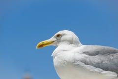 Retrato del seagul Fotografía de archivo