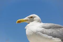 Retrato del seagul Fotos de archivo libres de regalías