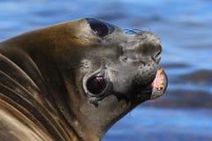 Retrato del sello de elefante de Islas Malvinas con el bozal abierto y de los ojos oscuros grandes, mar azul marino en fondo Fotografía de archivo