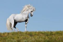 Retrato del semental del caballo blanco Fotografía de archivo