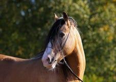 Retrato del semental del caballo de Vanner del gitano Imágenes de archivo libres de regalías