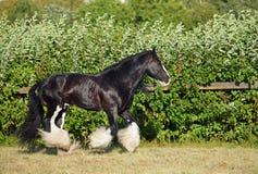 Retrato del semental del caballo de Vanner del gitano Imagen de archivo