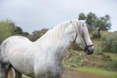 Retrato del semental español puro blanco que presenta en el lago andalusia españa fotos de archivo
