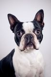 Retrato del terrier de Boston fotografía de archivo