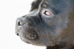 Retrato del terrier de Staffordshire Bull Imagen de archivo libre de regalías