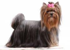 Retrato del terrier de yorkshire Fotografía de archivo