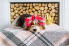 Retrato del terrier de Yorkshire en bigudíes de pelo Imagen de archivo libre de regalías