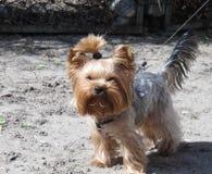 Retrato del terrier de yorkshire fotografía de archivo libre de regalías