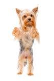 Retrato del terrier de Yorkshire que se coloca en sus piernas traseras Fotografía de archivo