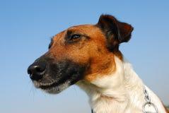 Retrato del terrier de zorro Foto de archivo