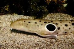 Retrato del tiburón del Epaulette Imagen de archivo libre de regalías