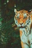 Retrato del tigre Fotografía de archivo libre de regalías