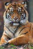 Retrato del tigre Fotos de archivo