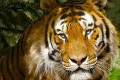 Retrato del tigre de Amur/del tigre siberiano Ciérrese para arriba de cara con los ojos amarillos brillantes que brillan en el so imagen de archivo libre de regalías