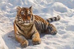 retrato del tigre de bebé Imagen de archivo