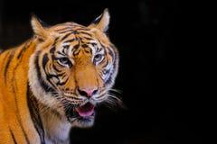 Retrato del tigre del tigre de Bengala imágenes de archivo libres de regalías