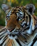 Retrato del tigre grande, Tailandia, Tiger Temple Imagenes de archivo
