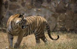 Retrato del tigre salvaje masculino Fotografía de archivo libre de regalías