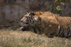 Retrato del tigre salvaje masculino Fotos de archivo libres de regalías