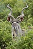 Retrato del varón de Kudu fotografía de archivo libre de regalías