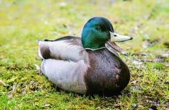 Retrato del varón del pato con el pico entornado fotos de archivo libres de regalías