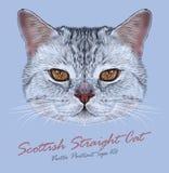 Retrato del vector del gato recto escocés Imágenes de archivo libres de regalías