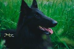 Retrato del verano del groenendael-perro negro con el fondo verde imágenes de archivo libres de regalías