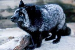 Retrato del zorro negro en la pajarera fotos de archivo