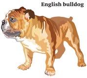 Retrato derecho decorativo coloreado del vector inglés i del dogo ilustración del vector