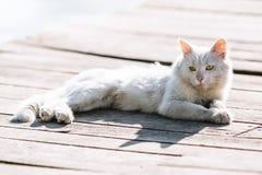 Retrato desabrigado branco sujo do gato Imagem de Stock