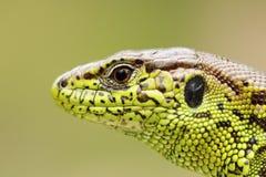 Retrato detallado del lagarto de arena Imágenes de archivo libres de regalías