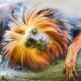 Retrato dirigido dourado do macaco do tamarin Fotografia de Stock