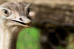 Retrato divertido de la avestruz Foto de archivo