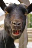 Retrato divertido de la cabra Imágenes de archivo libres de regalías