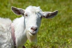 Retrato divertido de la cabra del hocico blanco del primer en fondo al aire libre Fotografía de archivo