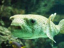 Retrato divertido de los pescados del soplo Fotos de archivo libres de regalías