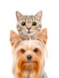 Retrato divertido de un terrier recto del gato y de Yorkshire escocés Imágenes de archivo libres de regalías