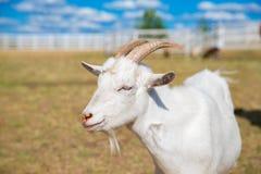 Retrato divertido de una cabra sonriente con un cielo azul en el backgrou Imágenes de archivo libres de regalías