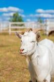 Retrato divertido de una cabra sonriente con un cielo azul en el backgrou Fotografía de archivo