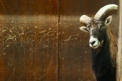 Retrato divertido del animal negro curioso de la cabra foto de archivo