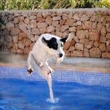 Retrato divertido del perro, salto de la piscina Fotografía de archivo