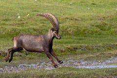Retrato do íbex adulto nos alpes Fotos de Stock